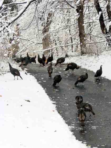 Turkey flock - Thanksgiving 2014