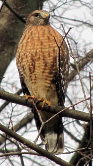 Coopers Hawk - keeping an eye on us