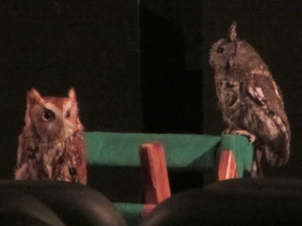 Screech Owls - on stand