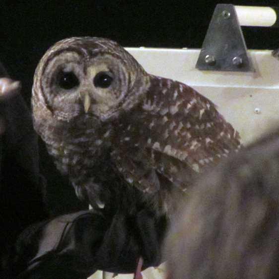 Barred owl - eye contact