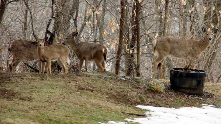 Deer Herd - main