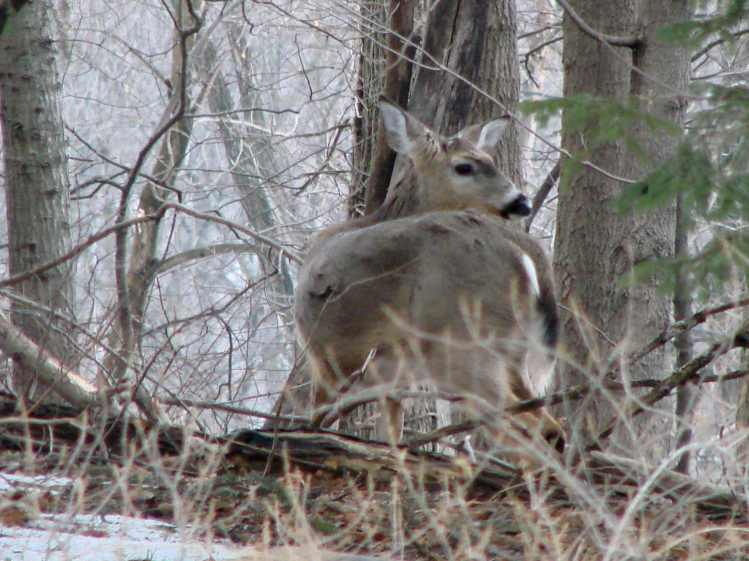 Deer Herd - outlier