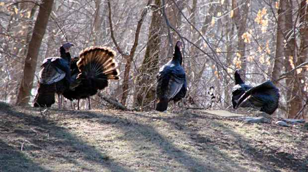 Turkey flock - 1