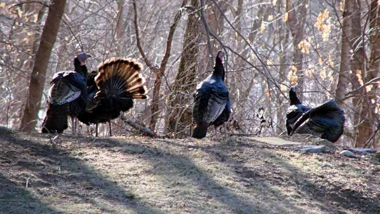 Turkey flock - 1