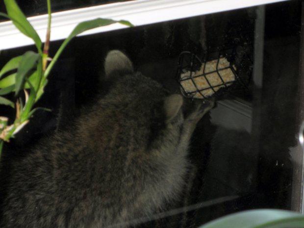 Raccoon on suet feeder