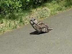 MAH00389-0548 - Barred Owl on DCRT - 2 - detail