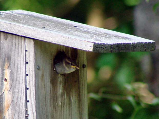 Sparrow fledgling watching the world
