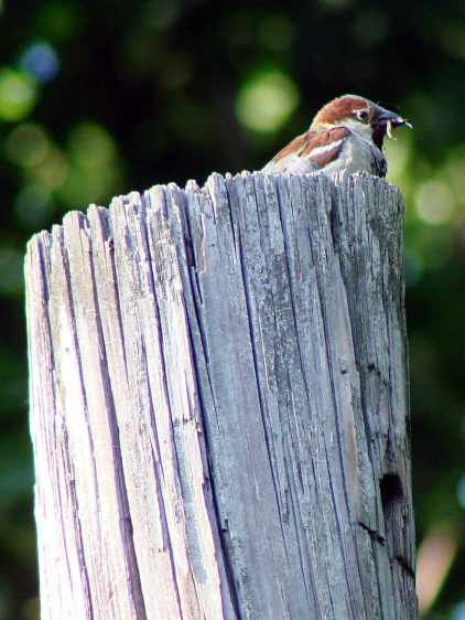 Male sparrow with insect
