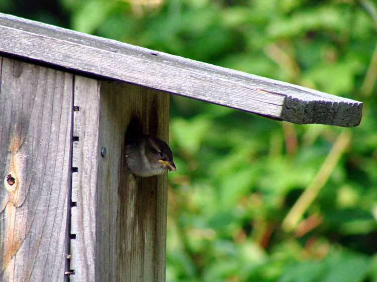 Sparrow fledgling looking tired