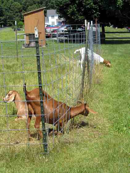 Goats vs. fence - green grass