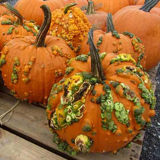 Zombie Pumpkins - 2