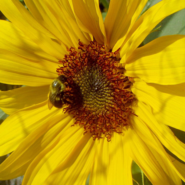 1500 x 1500 jpeg 191kBSunflower