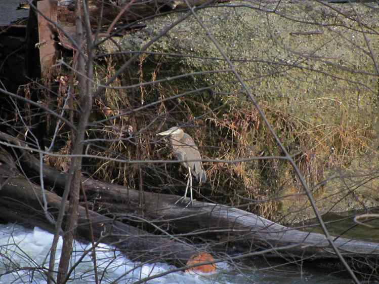 Heron at Red Oaks Mill Dam - spillway