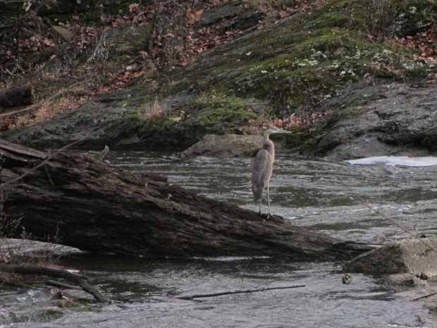 Heron at Red Oaks Mill Dam - midstream