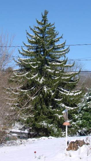 Norway Spruce  with April snow