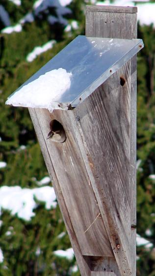 Sparrow - nest box in April snow