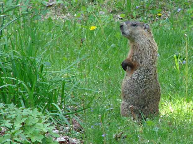 Groundhog being suspicious
