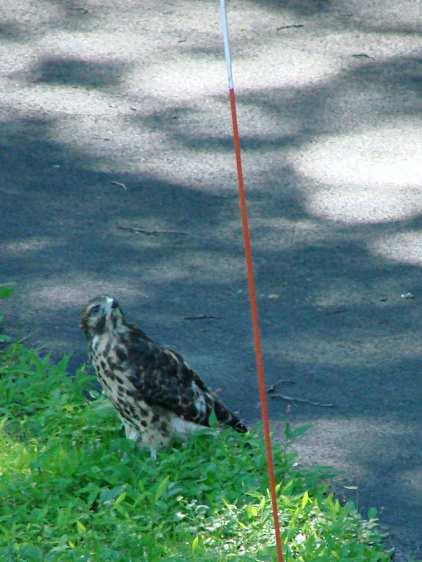 New Hawks - parent overhead