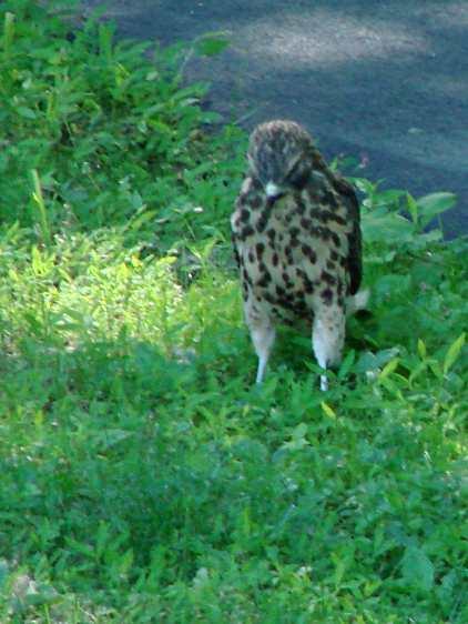 New Hawks - curiosity