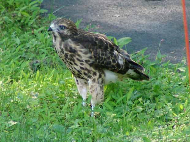 New Hawks - standing tall