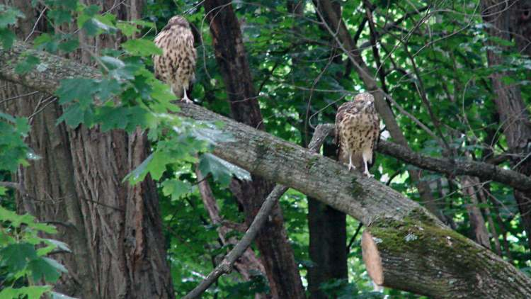 New Hawks - companions