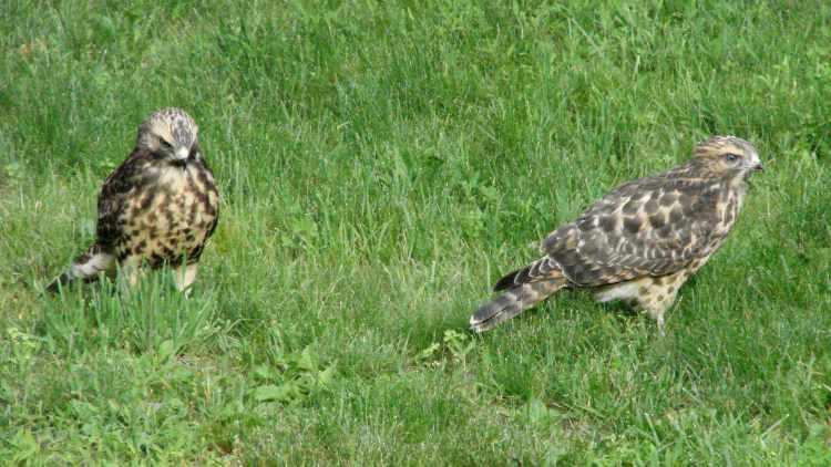 New Coopers Hawks - siblings