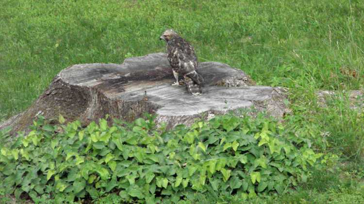 New Coopers Hawks - master of the stump