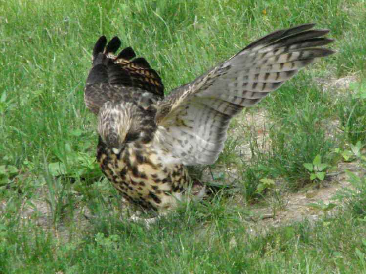 New Coopers Hawks - capturing something
