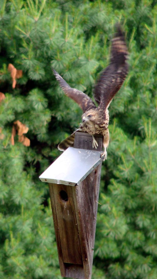 New Coopers Hawks - bird box takeoff whoops
