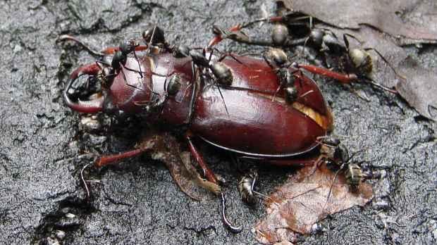 Stag Beetle vs Ants - side