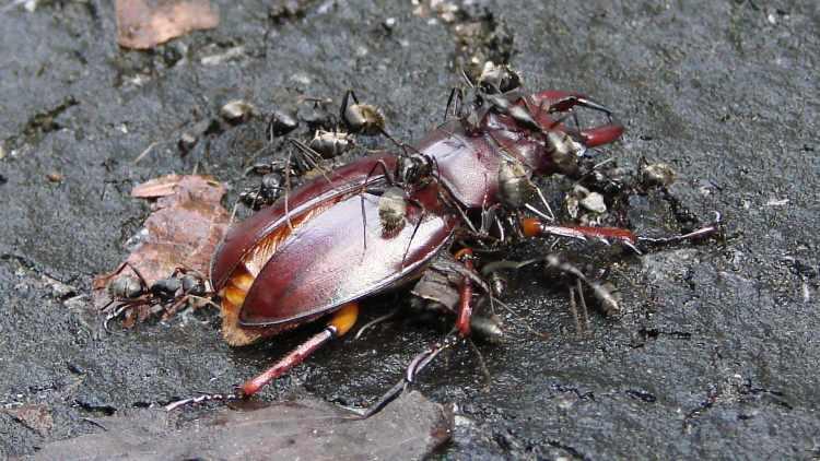 Stag Beetle vs Ants - rear