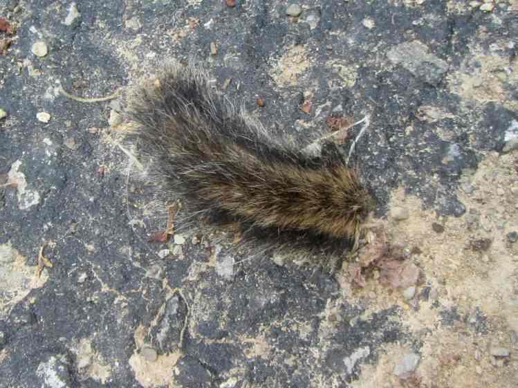 Chipmunk tail tip