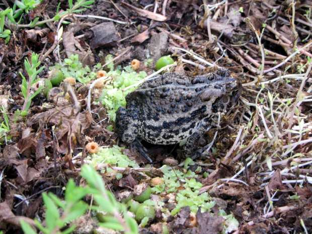 Garden shelter - toad on sour cherries
