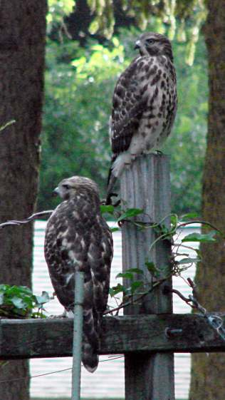 New Coopers Hawks - Watching the Area