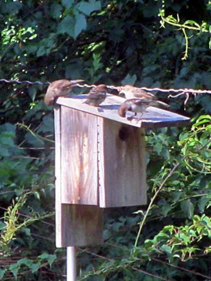 Four sparrows investigating bird box
