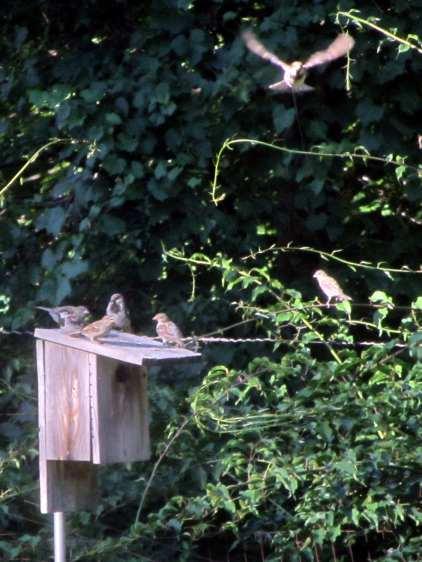 Late season sparrows on bird box