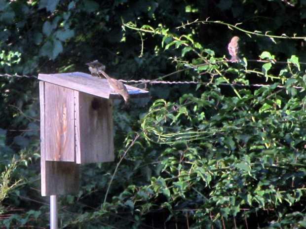 More sparrows on the bird box