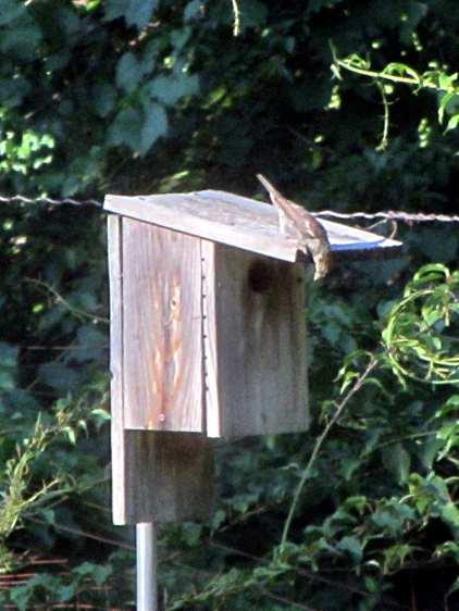 Sparrow investigating bird box