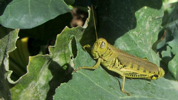 Grasshopper - Broccoli at Vassar Farms garden