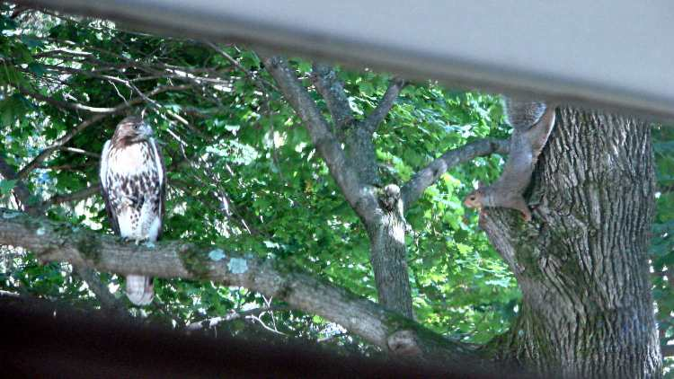 Immature Red-Tail Hawk vs. Squirrel - approach