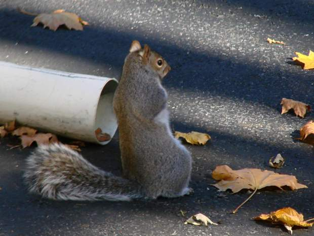 Squirrel leaning back