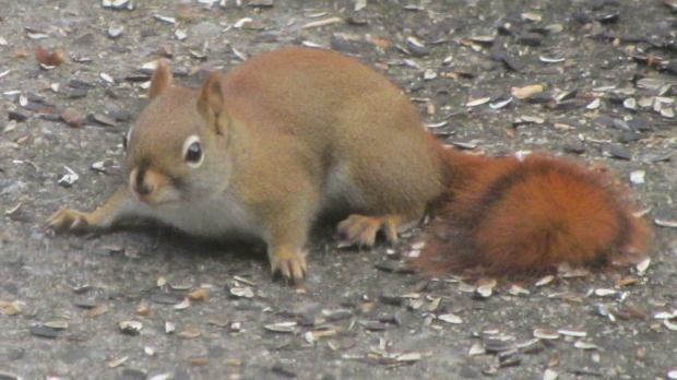 Red squirrel on patio - front