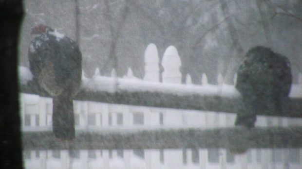 Turkeys on rail fence in snow