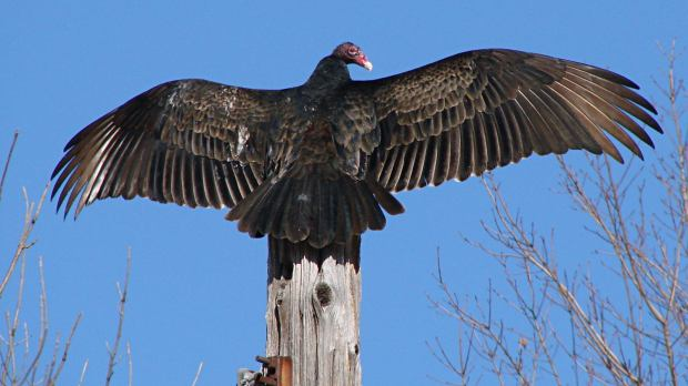 Turkey Vulture atop utility pole - alert