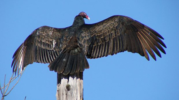Turkey Vulture atop utility pole - snoozing