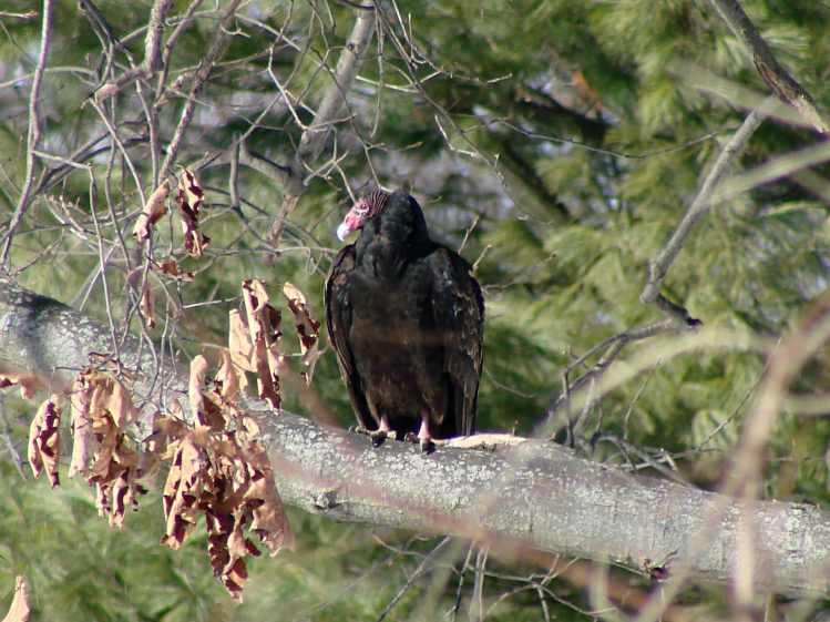 Turkey Vulture on branch