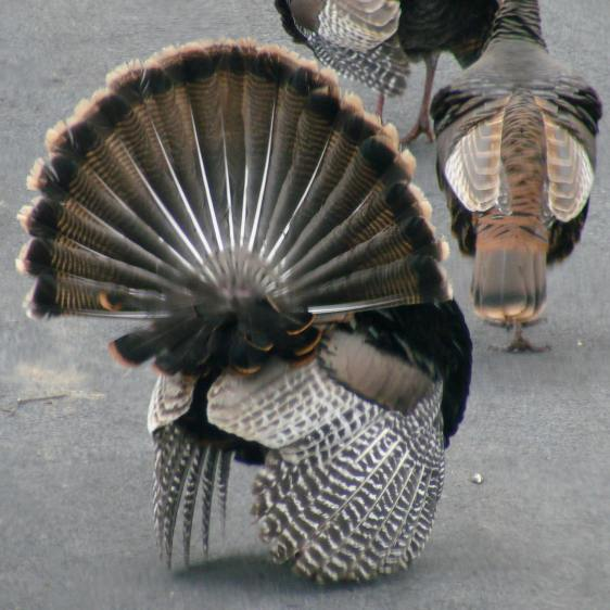 Turkey mating - aftermath