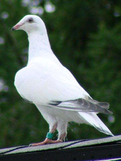 Mystery Pigeon - on roof ridge