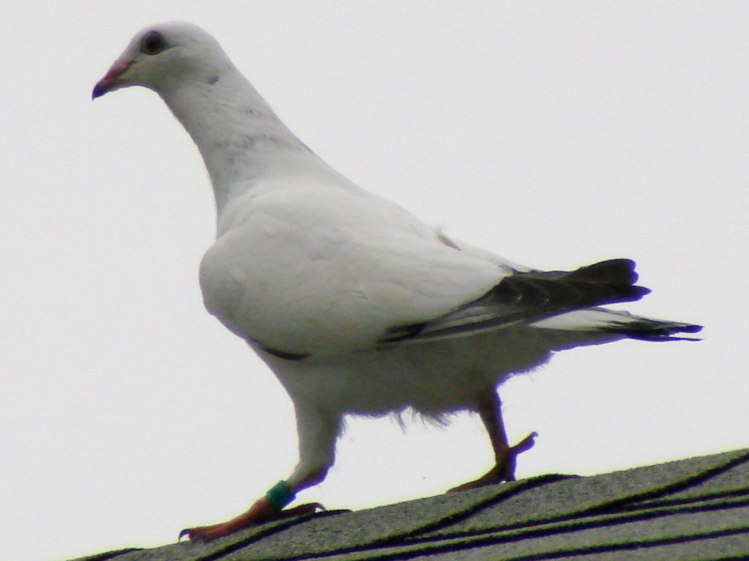 Mystery Pigeon - walking on roof ridge