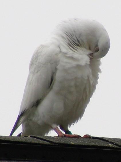 Mystery Pigeon - body maintenance